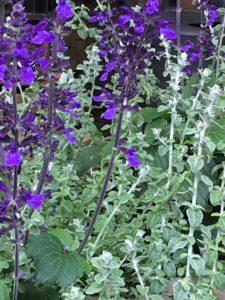 combinatie grijs blad met salvia