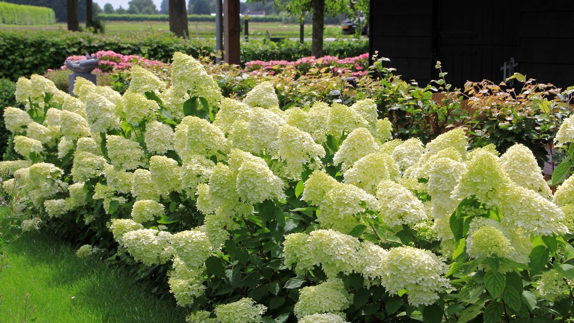 https://www.franscommandeur.nl/wp-content/uploads/2018/05/hydrangea-limelight-4135_cr_tn.jpg