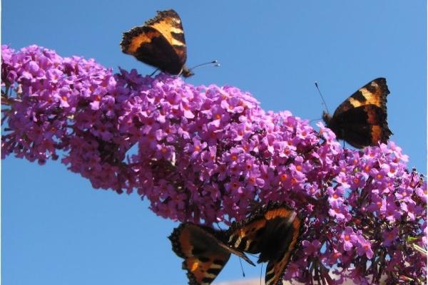 https://www.franscommandeur.nl/wp-content/uploads/2018/05/vlinders-op-vlinderstruik.jpg