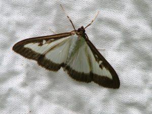 vlinder-in-buxus