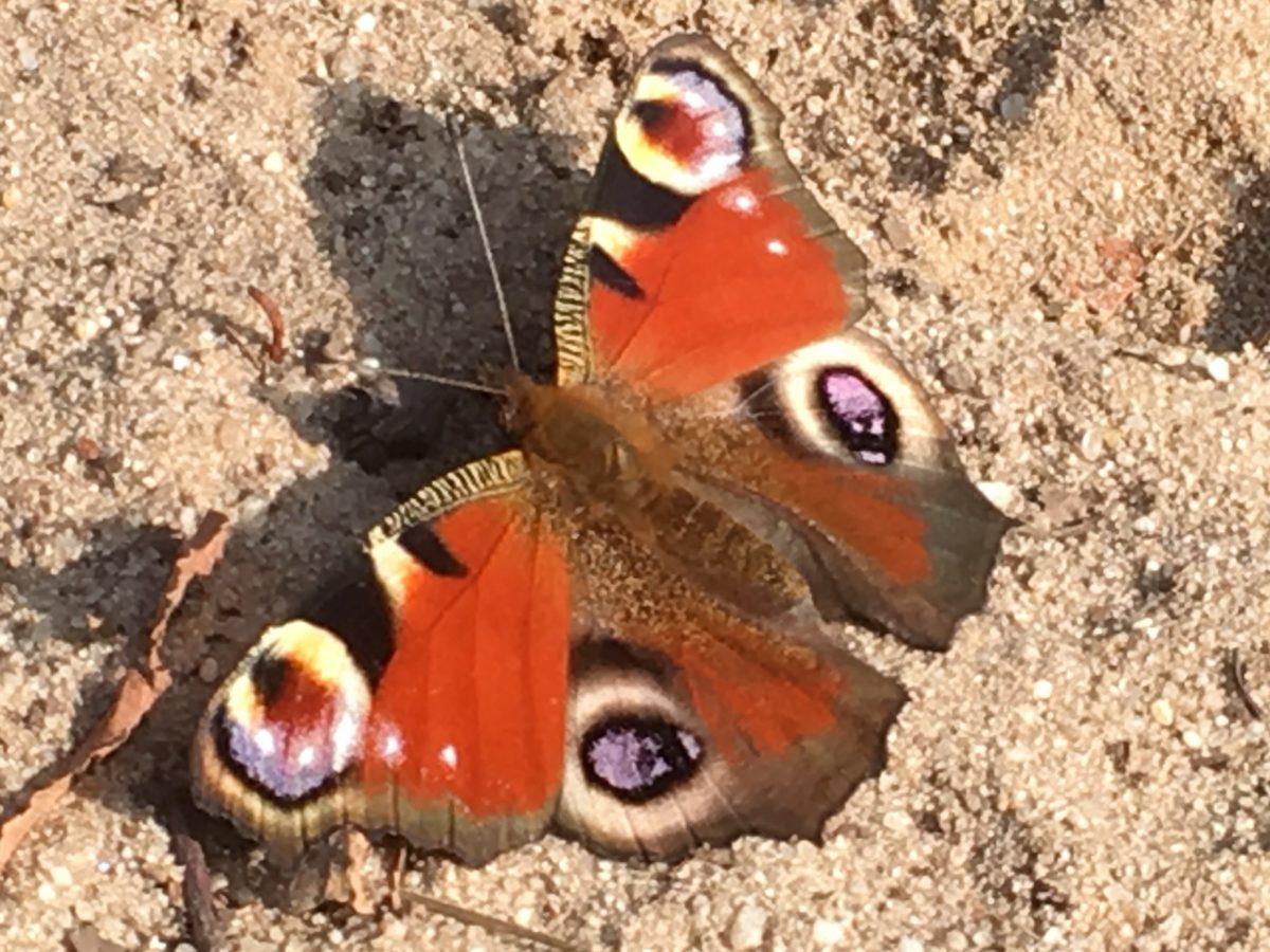 https://www.franscommandeur.nl/wp-content/uploads/2019/09/vlinder-dagpauwoog-1200x900.jpg