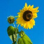 zonnebloem-als-kiemgroente